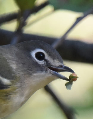 Photo of Blue Headed Vireo Red Food 3 on NaturalCrooksDotCom