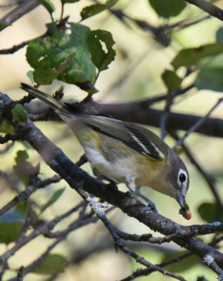 PHoto of Blue Headed Vireo Red Food on NaturalCrooksDotCom
