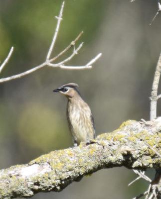Photo of Cedar Waxwing Juvenile Hendrie on NaturalCrooksDotCom