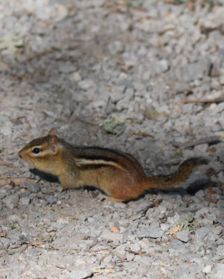 Photo of Chipmunk Hendrie On NaturalCrooksDotCom