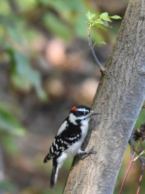 Photo of Downy Woodpecker Hendrie on NaturalCrooksDotCom