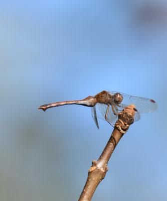 Photo of Dragonfly Hendrie on NaturalCrooksDotCom