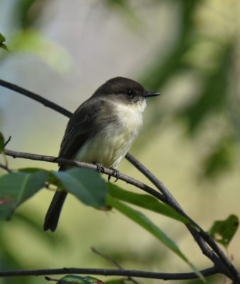 Photo of Eastern Phoebe Oct 1 on NaturalCrooksDotCom
