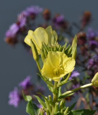 Photo of Evening Primrose Hendrie on NaturalCrooksDotCom