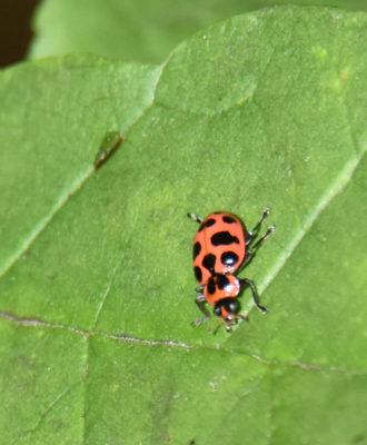 Photo of Ladybug Hendrie on NaturalCrooksDotCom