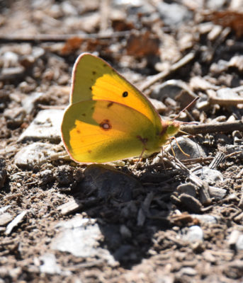 Photo of Orange Sulphur Hendrie on NaturalCrooksDotCom
