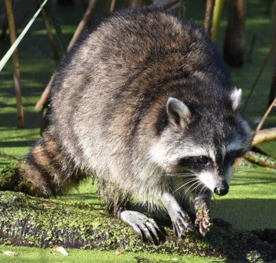 Photo of Raccoon Hendrie on NaturalCrooksDotCom