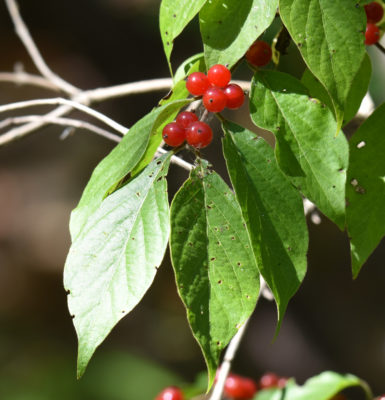 Photo of Red Berries Hendrie on NaturalCrooksDotCom