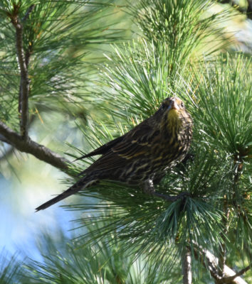 Photo of Red Winged Blackbird Pine on NaturalCrooksDotCom