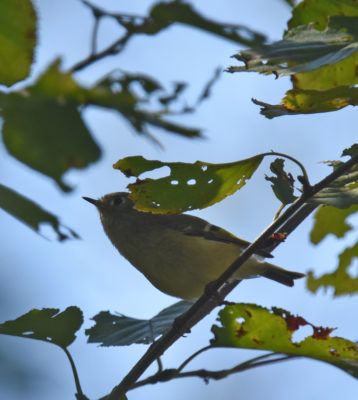 Photo of Ruby Crowned Kinglet Backlit On NaturalCrooksDotCom
