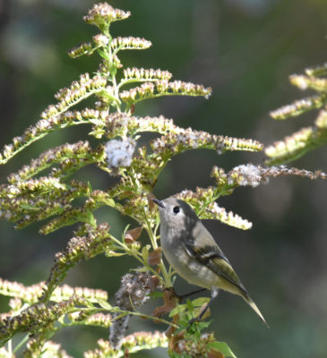 Photo of Ruby Crowned Kinglet Goldenrod 2 On NaturalCrooksDotCom