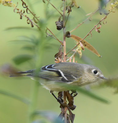 Photo of Ruby Crowned Kinglet Goldenrod On NaturalCrooksDotCom