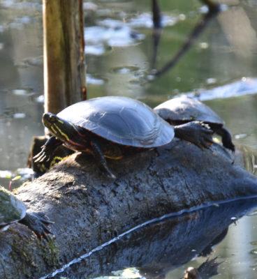 Photo of Turtle Hendrie on NaturalCrooksDotCom