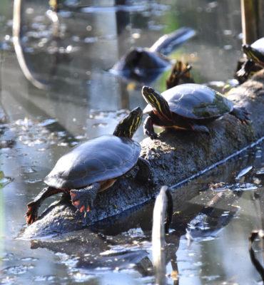 Photo of Turtles Hendrie on NaturalCrooksDotCom