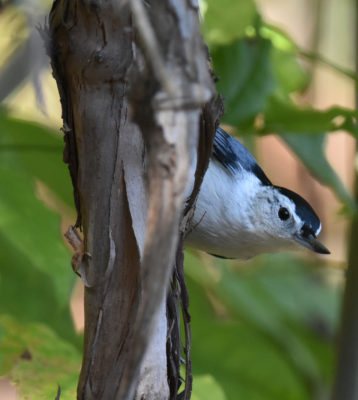Photo of White Breasted Nuthatch Hendrie on NaturalCrooksDotCom