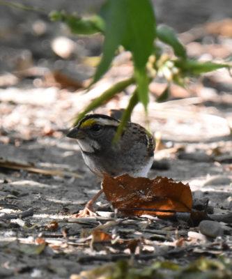 Photo of White Throated Sparrow Hendrie on NaturalCrooksDotCom