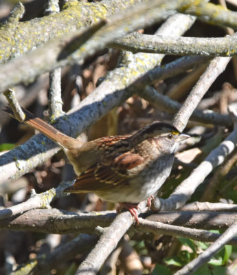 Photo of White Throated Sparrow Oct 1 On NaturalCrooksDotCom