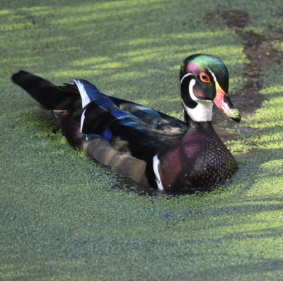 Photo of Wood Duck Male Hendrie on NaturalCrooksDotCom