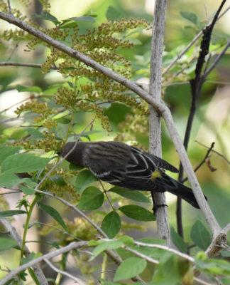 Photo of Yellow Rumped Warbler B Hendrie on NaturalCrooksDotCom