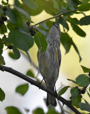 Photo of Yellow Rumped Warbler Hendrie on NaturalCrooksDotComYellow Rumped Warbler Hendrie on NaturalCrooksDotCom