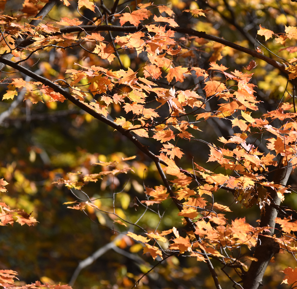 Photo of Autumn Leaves Oct on NaturalCrooksDotCom