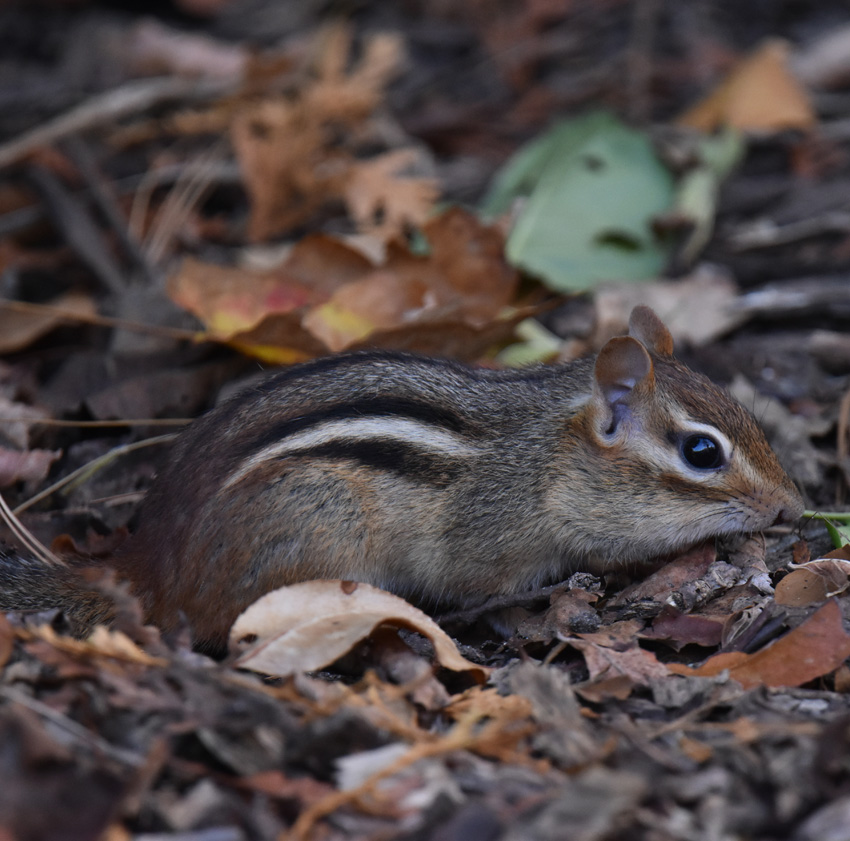 Photo of Chipmunk Oct on NaturalCrooksDotCom