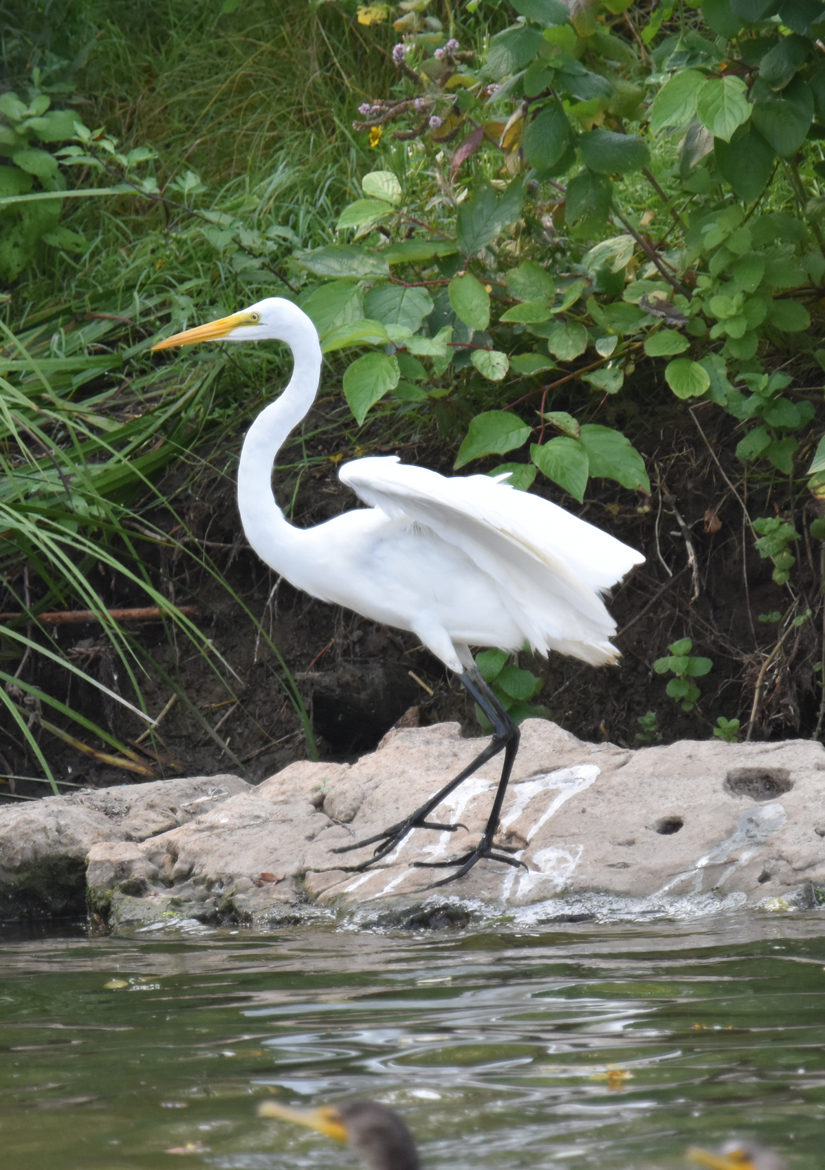 Photo of Great Egret Urquhart on NaturalCrooksDotCom