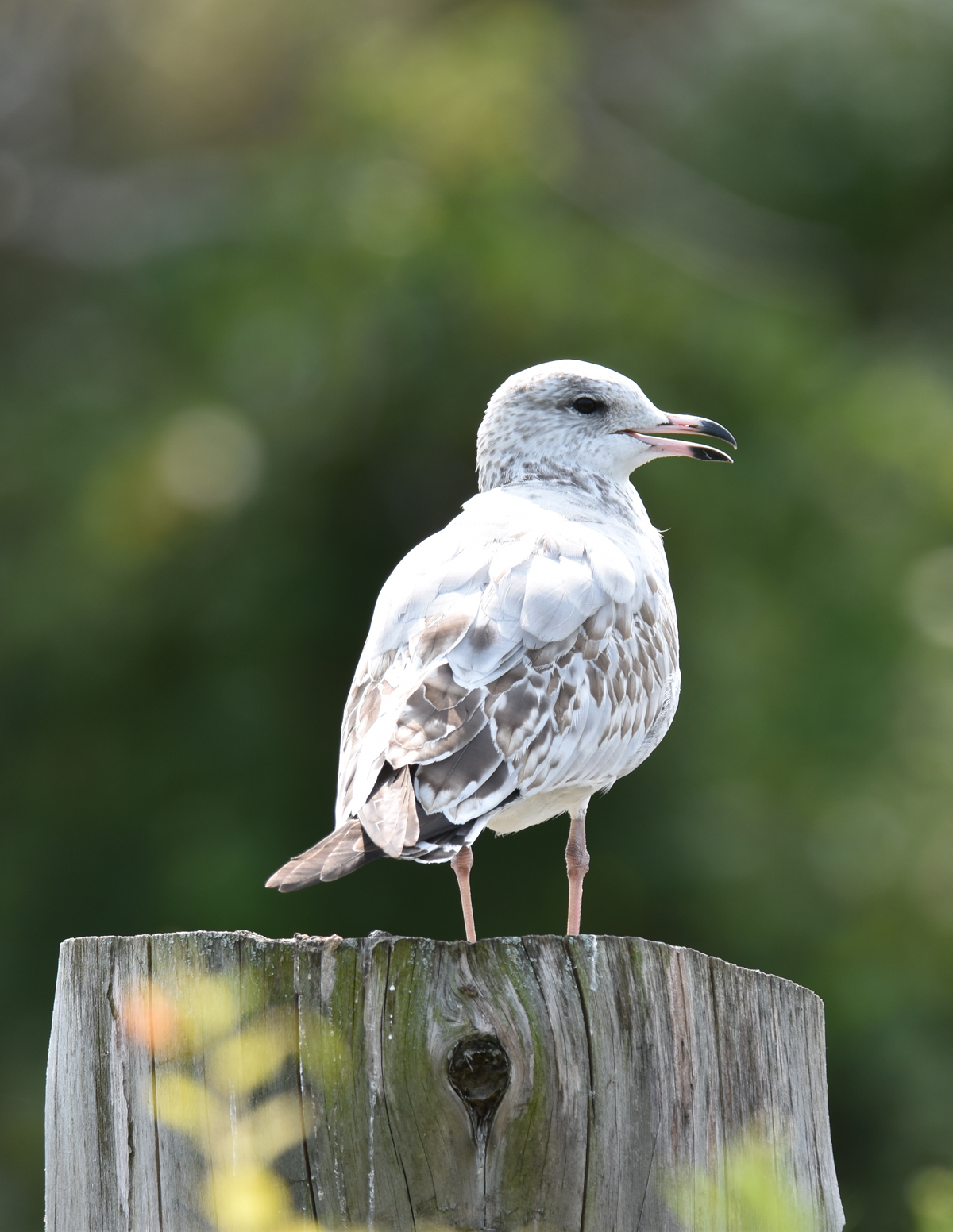 Photo of Gull Urquhart on NaturalCrooksDotCom