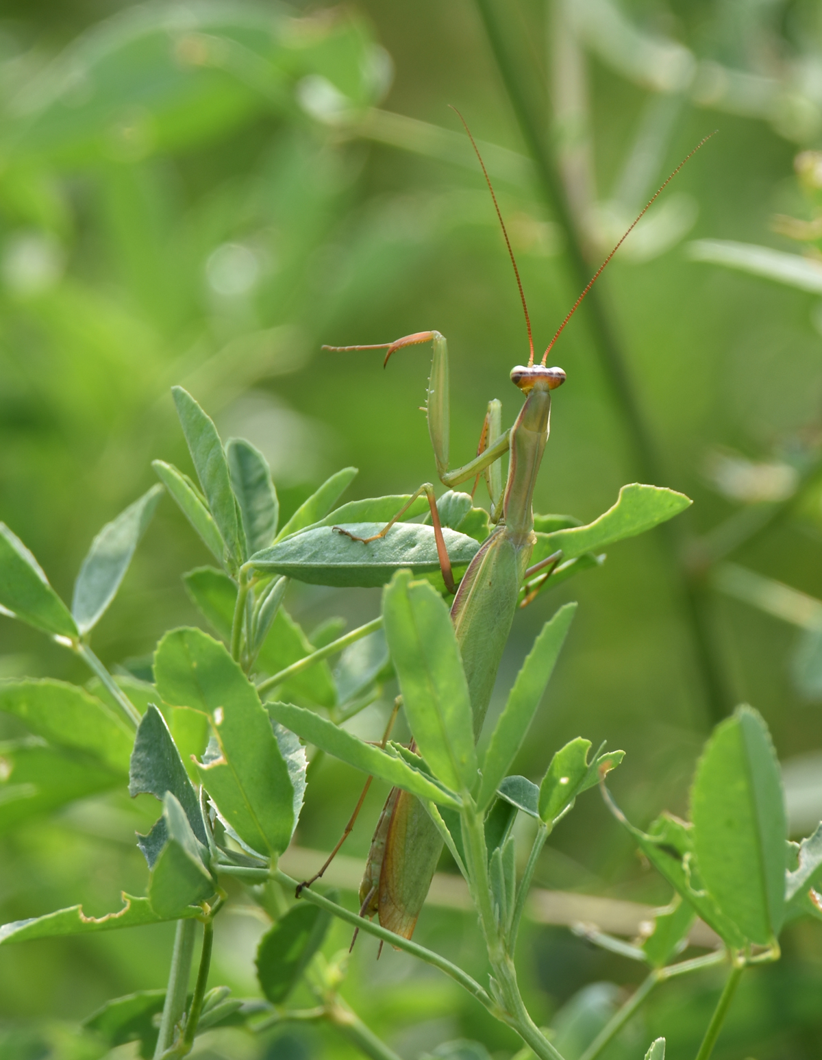 Photo of Praying Mantis Urquhart on NaturalCrooksDotCom