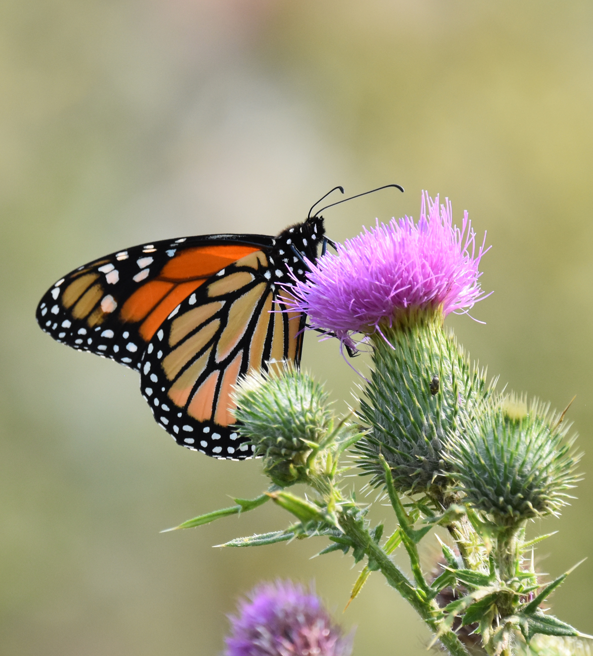 Photo of Monarch Thistle Urquhart on NaturalCrooksDotCom