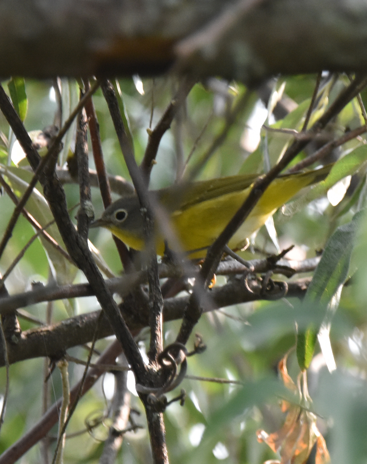 Photo of Nashville Warbler Urquhart on NaturalCrooksDotCom