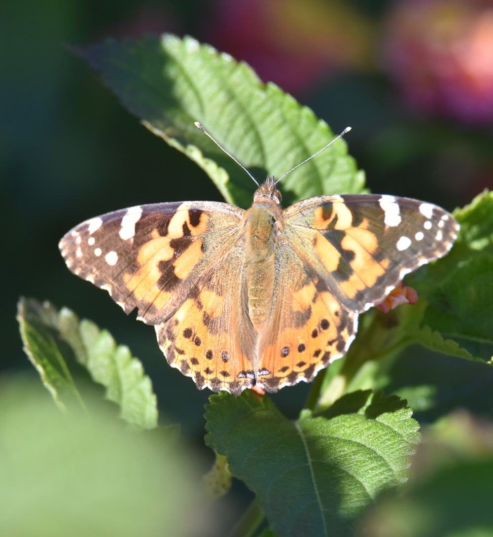 Photo of Painted Lady Oct 22 B on NaturalCrooksDotCom