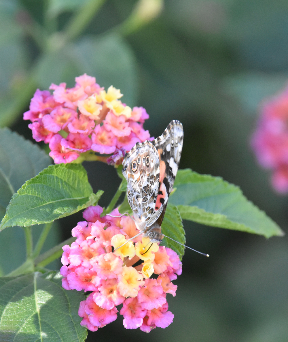 Photo of Painted Lady Oct 22 on NaturalCrooksDotCom
