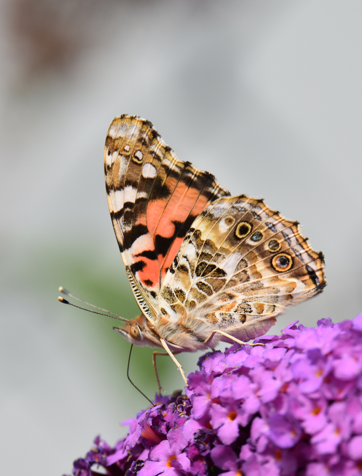 Photo of Painted Lady Urquhart on NaturalCrooksDotCom