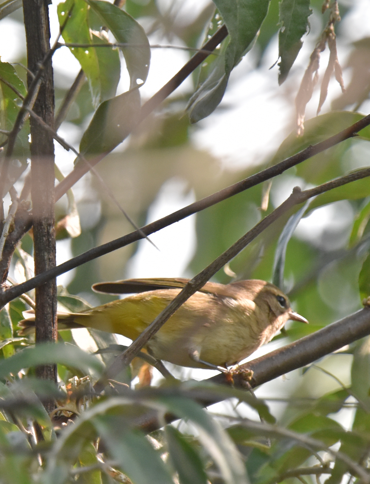 Photo of Palm Warbler Urquhart on NaturalCrooksDotCom