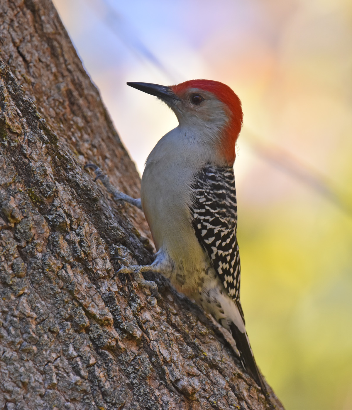 Photo of Red Bellied Woodpecker Oct 22 on NaturalCrooksDotCom