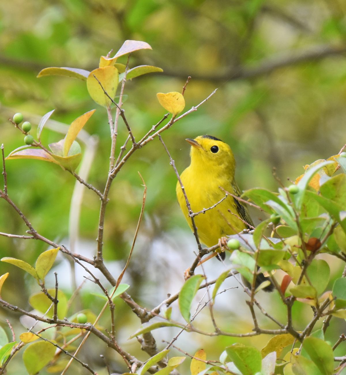 Photo of Wilsons Warbler B Urquhart on NaturalCrooksDotCom