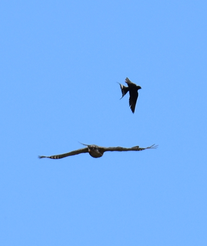 Photo of Bird Defence on NaturalCrooksDotCom