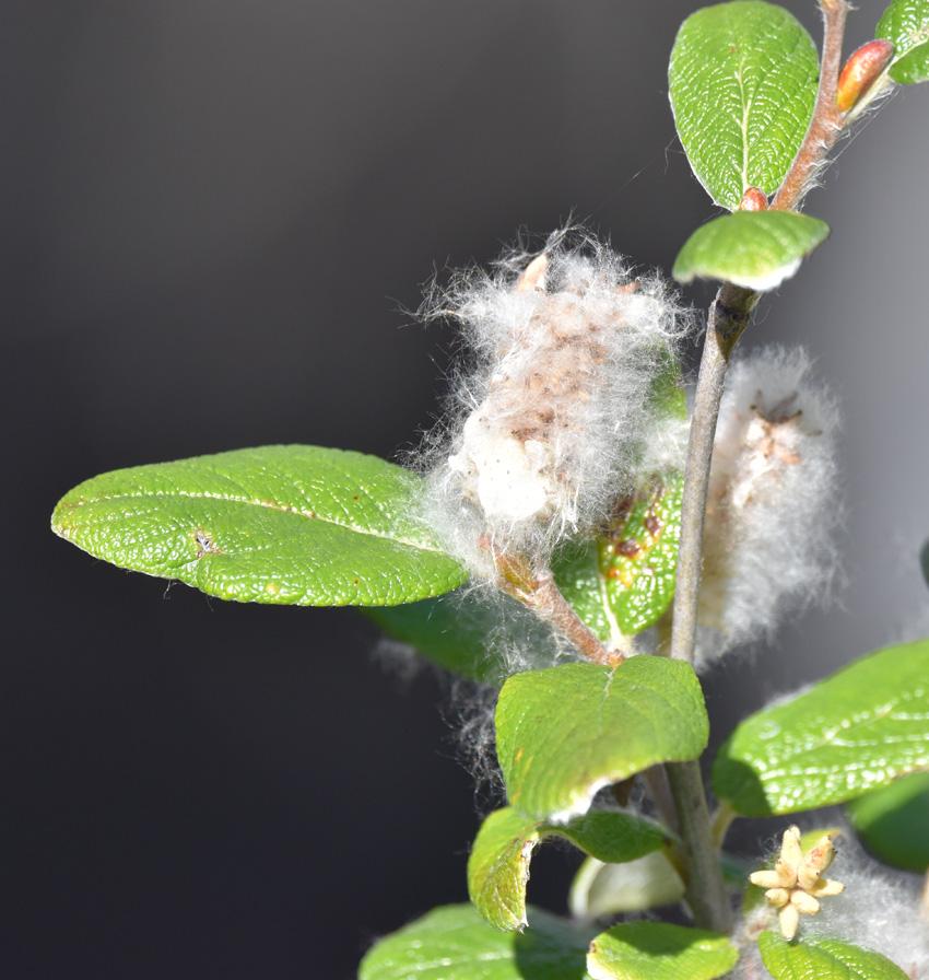 Photo of Cottony Willow on NaturalCrooksDotCom