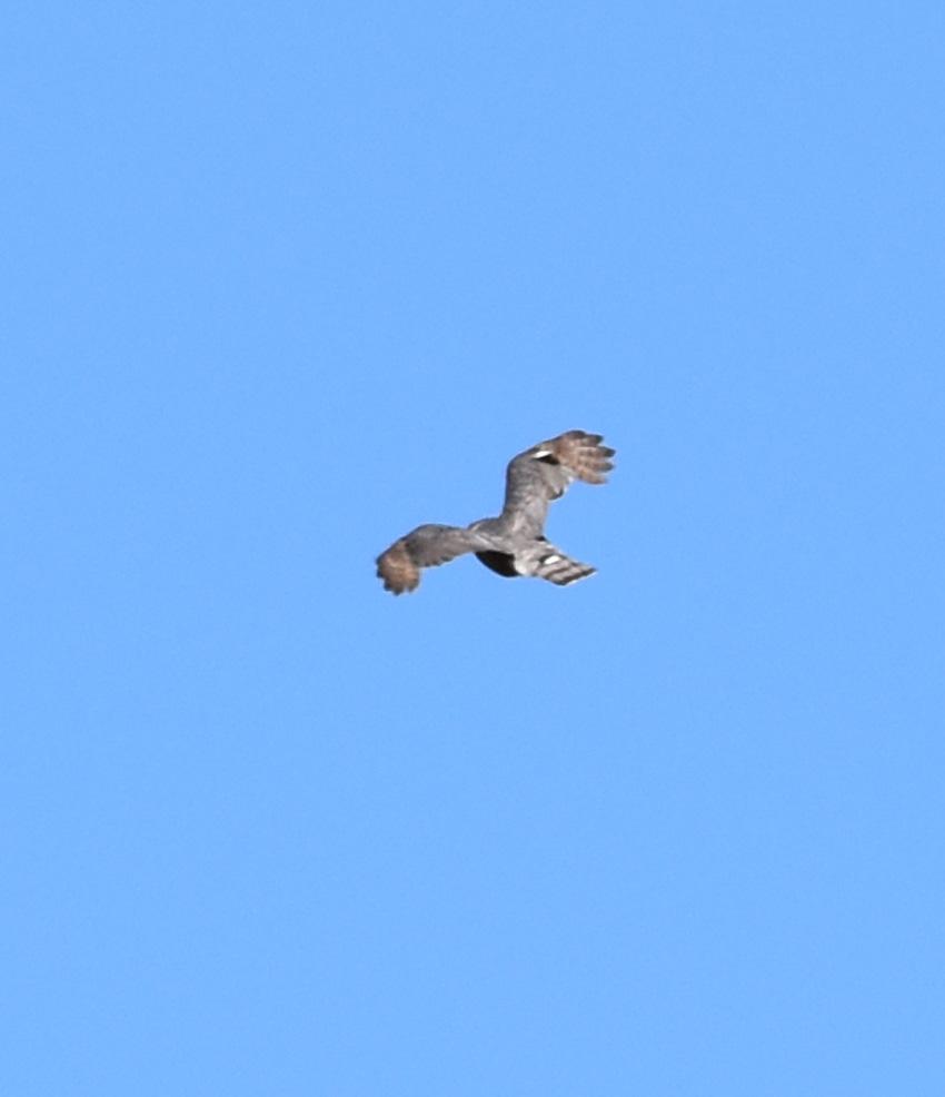 Photo of Hunting Bird on NaturalCrooksDotCom