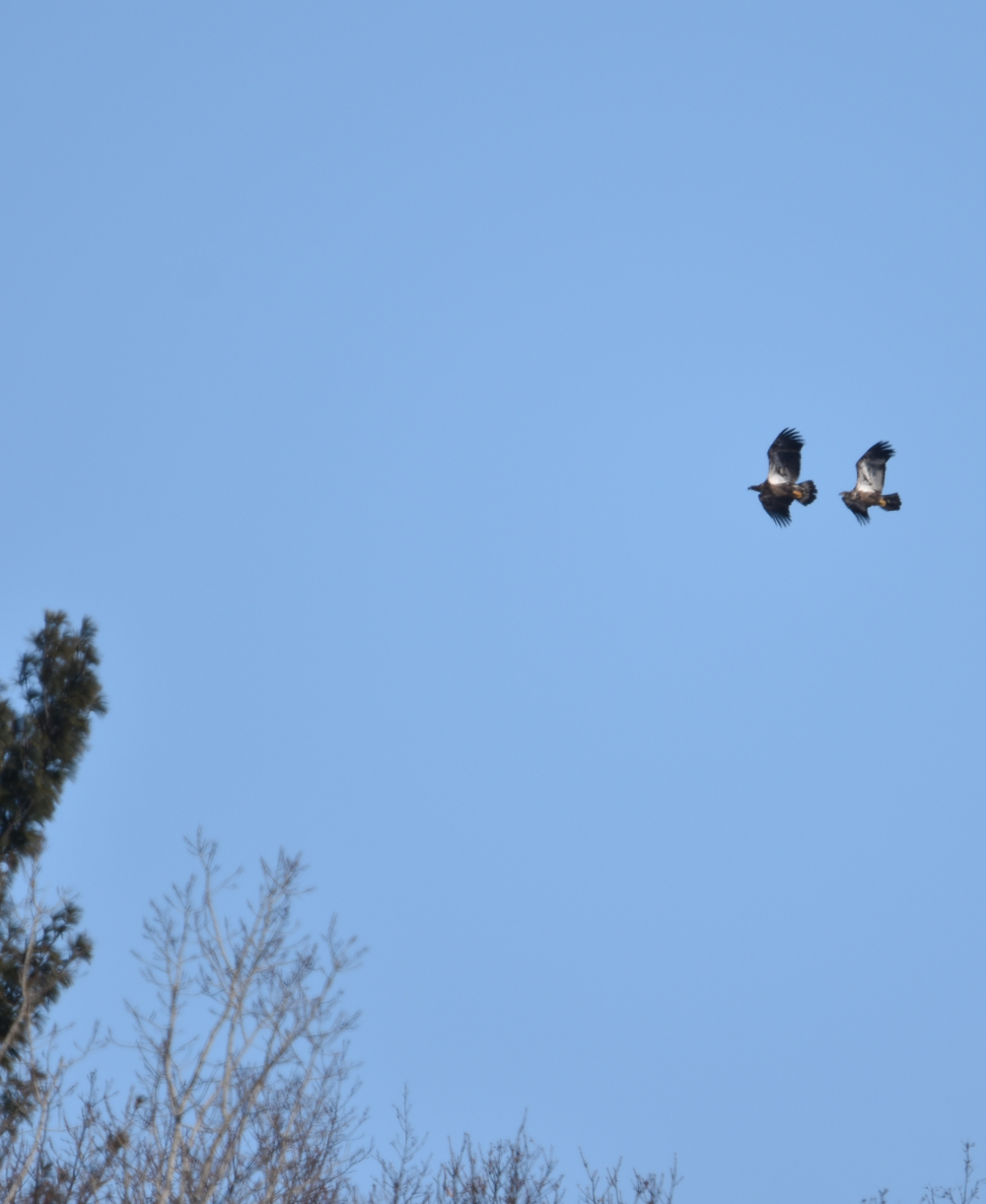 Photo of Bald Eagles NonMature LaSalle on NaturalCrooksDotCom