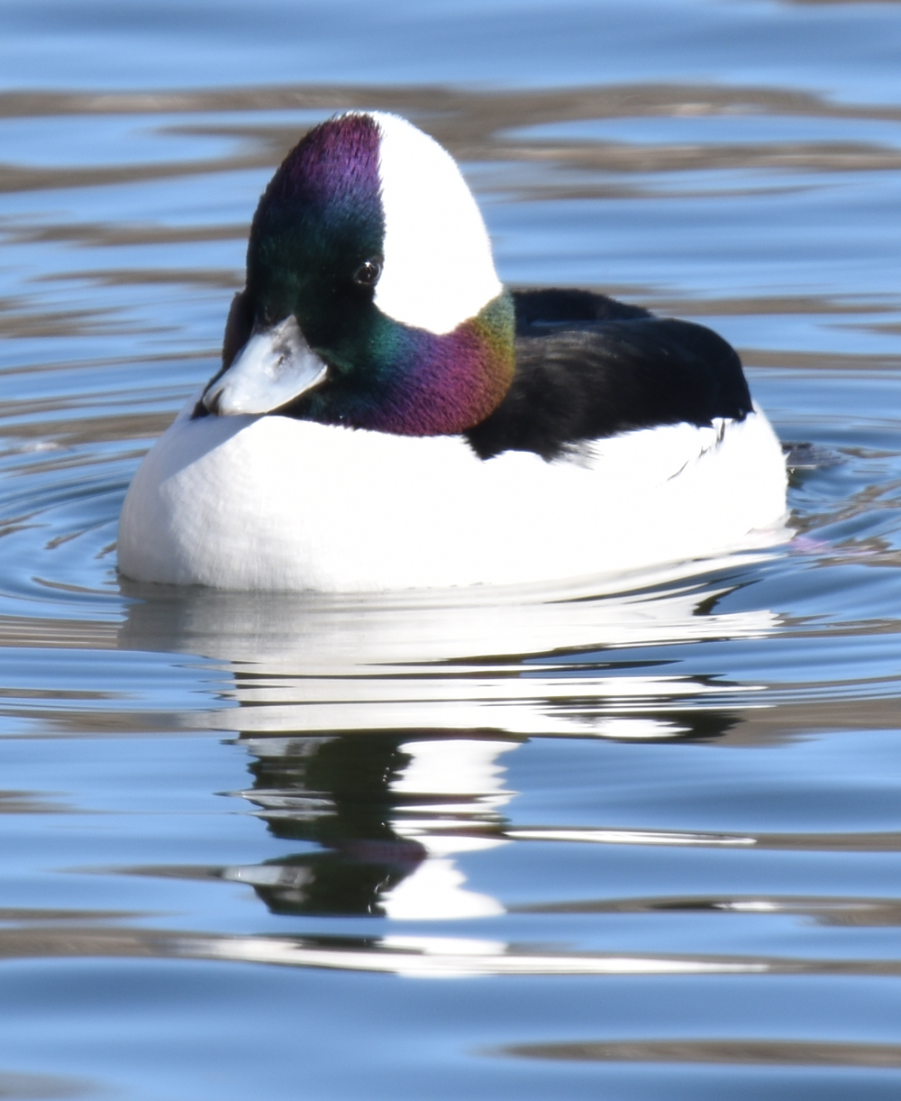 Photo of Bufflehead 1 Lasalle on NaturalCrooksDotCom