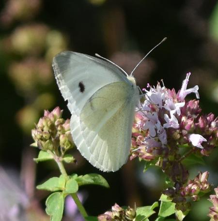 Photo of Cabbage White Urquhart on NaturalCrooksDotComa