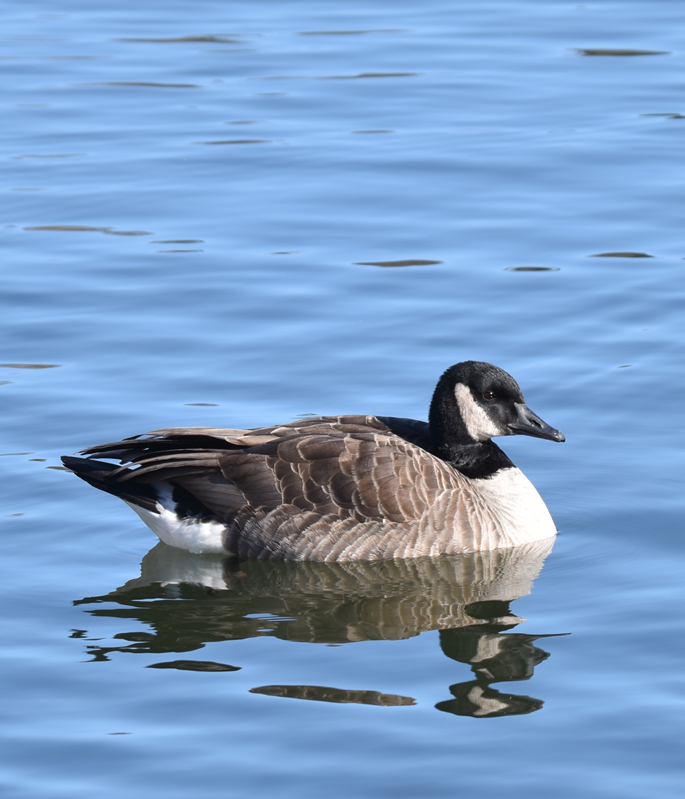 Photo of Canada Goose Lasalle on NaturalCrooksDotCom