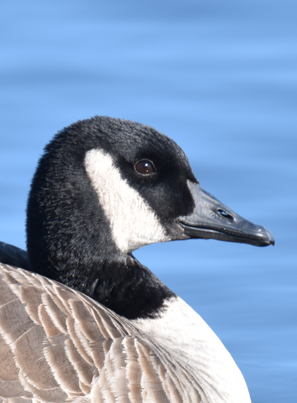 Photo of Canada Goose Nostril Lasalle on NaturalCrooksDotCom