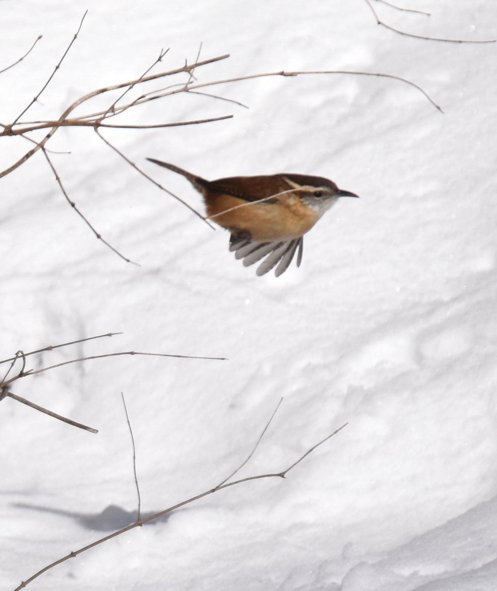 Photo of Carolina Wren Lasalle on NaturalCrooksDotCom