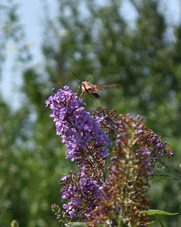 Photo of Clearwing Moth Urquhart on NaturalCrooksDotCom