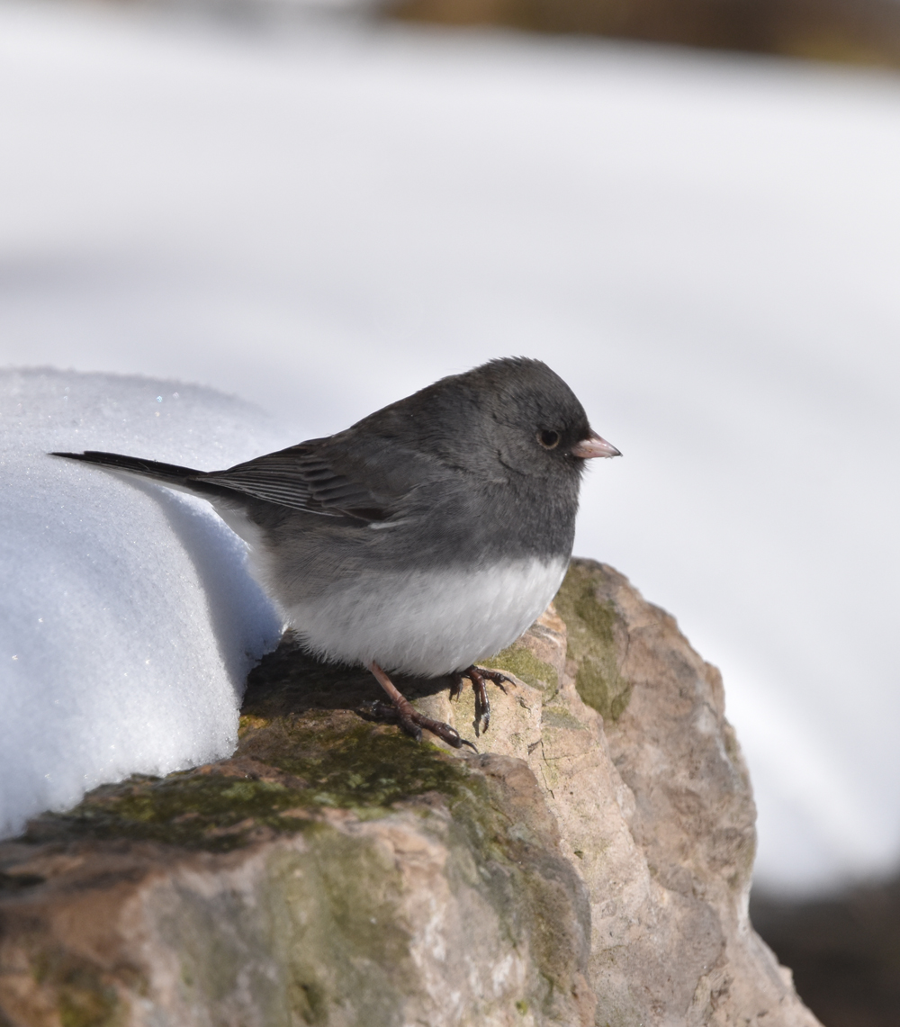 Photo of Dark Eyed Junco Lasalle On NaturalCrooksDotCom