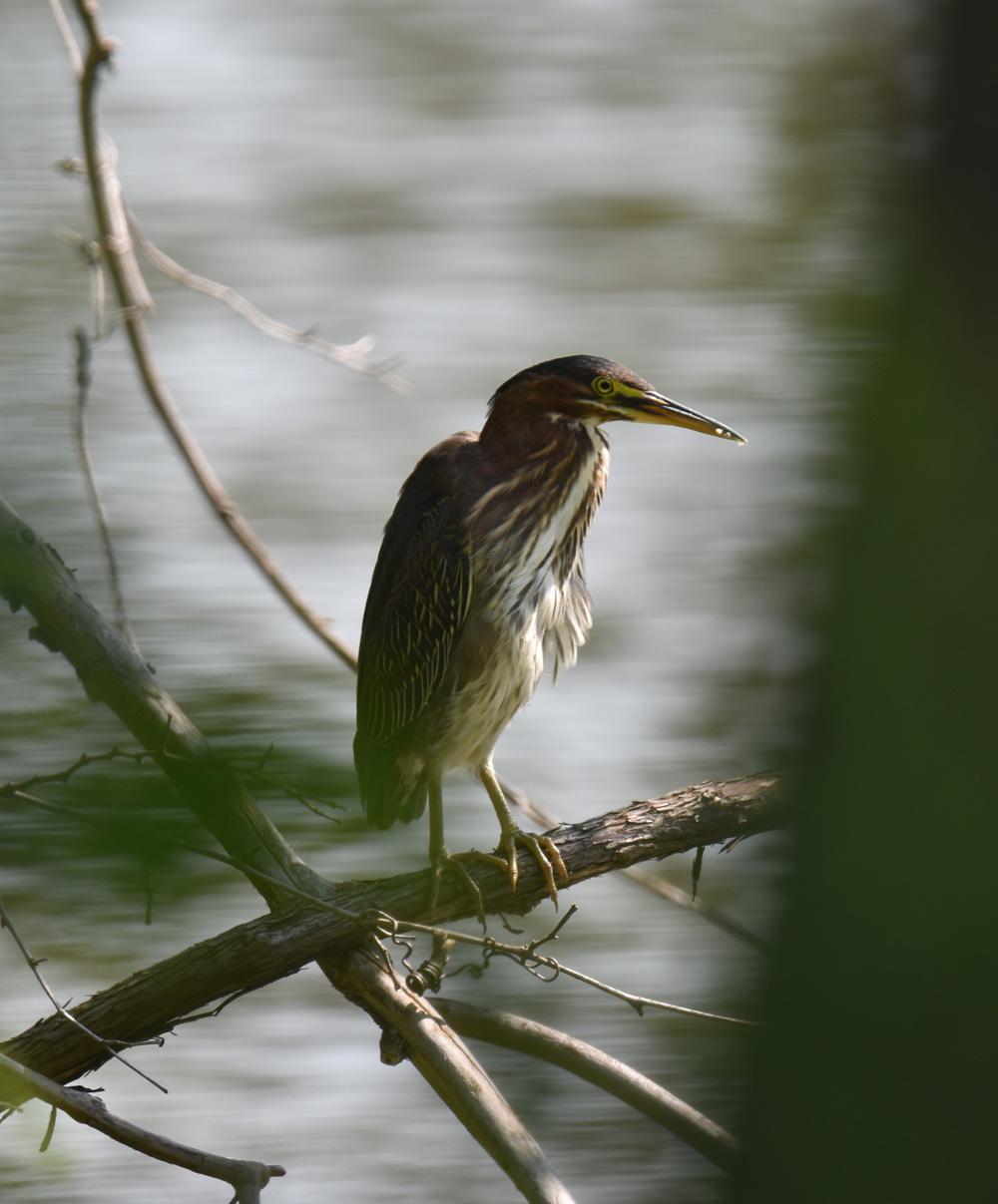 Photo of Green Heron 1 Urquhart on NaturalCrooksDotCom