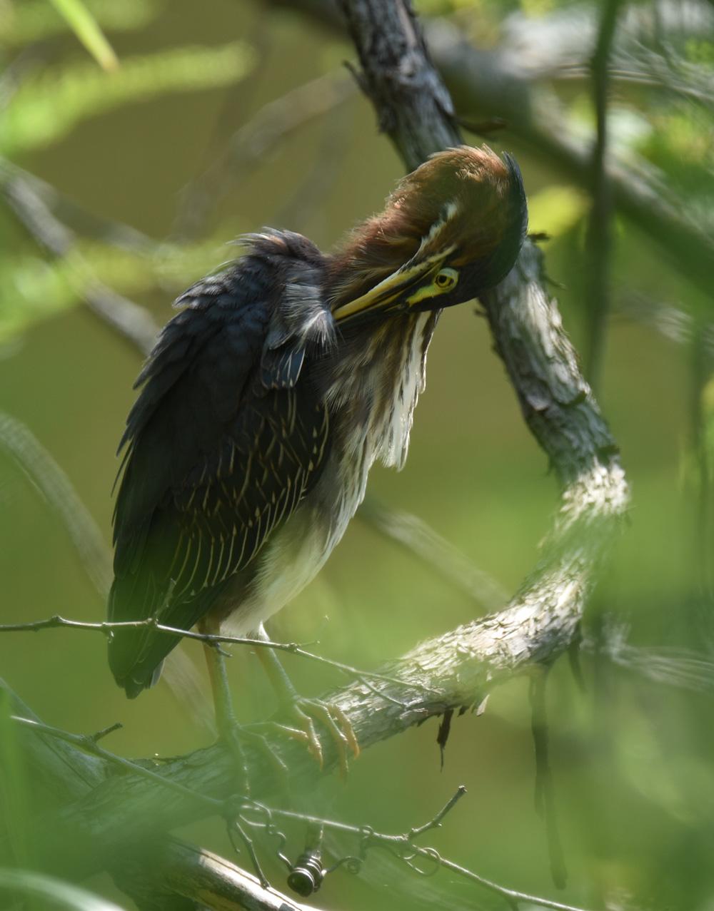 Photo of Green Heron 3 Urquhart on NaturalCrooksDotCom